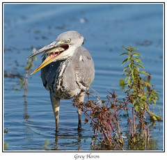 Grey Heron (Kingfisher1951 David Ward) Tags: greyheron catchingfish blashford