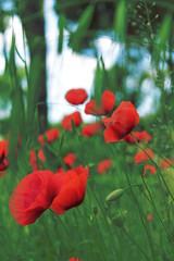 (Giorgio Testa) Tags: red flower verde green field grass lawn meadow erba poppies fiori flimsy fiore prato papaveri vegetazione trasparenti