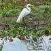 Graça-branca-grande