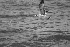 Flight (Digital_Third_Eye) Tags: lake motion bird wisconsin canon flying wings flickr birding flight bif birdinflight 2014 danecounty