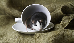 Curious rat (Jeanette Svensson) Tags: pet flower cup rat sweden coffe 8534 tassar morrhr jeanettesvensson jeanettesvenssonphotography