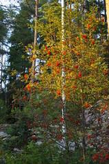 IMGP2475 (SeppoU [Read 'About' for info!]) Tags: autumn suomi finland pentax september syksy kx 2014 lohja syyskuu