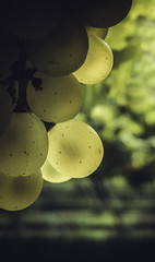 Grapes (montillon.a) Tags: sun sunlight vine grapes