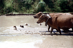 25-838 (ndpa / s. lundeen, archivist) Tags: bali color film water field birds animals rural 35mm indonesia landscape cattle farm nick ducks farmland ox 25 southpacific fields plow ricepaddies 1970s 1972 plowing oxen indonesian ricepaddy flooded balinese dewolf yoke oceania pacificislands banteng nickdewolf photographbynickdewolf reel25