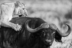 lionne (PHILCABA) Tags: buffle chasse kenya lion panthéraléo
