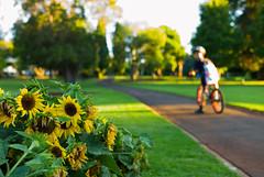 queens park detour (nzfisher) Tags: queenspark toowoomba garden sunflowers sunset dusk twilight boy boyhood child path queensland leica summilux 35mm
