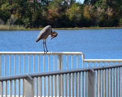 Yikes !!  My legs are so wrinkled! (all one thing (off this weekend)) Tags: fencefriday hff greatblueheron ardeaherodias yikesmylegsaresowrinkled water lake fence