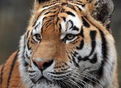 amurtiger Taymir Ouwehands BB2A9761 (j.a.kok) Tags: tijger tiger amurtiger amoertijger taymir pantheratigrisaltaica kat cat zoogdier mammal predator asia azie ouwehands ouwehandsdierenpark