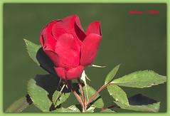 Sevilla. rosa9 (ferlomu) Tags: andalucía ferlomu flor flower rosa sevilla