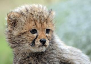 cheetah Beekse Bergen BB2A8267