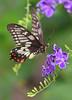 Dainty Swallowtail Butterfly 041 (DMT@YLOR) Tags: butterfly swallowtail daintyswallowtail geishagirl tree bush shrub flower purple goodna ipswich queensland australia