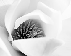 Opening (V Photography and Art) Tags: macromondays bw blackandwhite macro flower whiteflower closeup close soft delicate