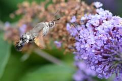 Hummingbird hawk-moth (presbi) Tags: morosphinx sfingedelgalio sfinge colibrì farfalla butterfly papillon mariposa barboleta sfingecolibrì macroglossumstellatarum