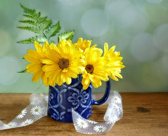 You are my sunshine. 🌞 (Through Serena's Lens) Tags: flower daisy yellow jug blue ribbon fern green bokeh bright naturallight stilllife tabletop 7dwf