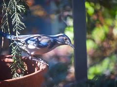 Birdwatching 20170331 (caligula1995) Tags: 2017 birdwatching peanuts scrubjay