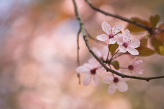 More Spring Blossoms (Stefan Zwi.) Tags: 105mm f28 sigma sony a7 ilce7 emount farbe closeup macro beauty blooming bloom green bokeh floral petal plant soft single outdoor color prunus plum blutpflaume blüten blüte blossom blume makro baum garten pflanze ngc npc black cherry