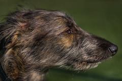 Harry Lurcher Puppy 6 Months- (Allan A Albery) Tags: harry dog lurcher puppy portrait sonya711 sony70200mmf4felens lightroom brindle ruby3