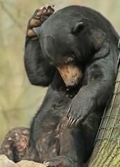 sunbear Ouwehands BB2A2215 (j.a.kok) Tags: beer bear maleisebeer mammal sunbear honingbeer honeybear malayan maleisie asia azie zoogdier ouwehands ouwehandsdierenpark