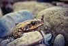 Came to the wrong neighborhood... (Leitratista) Tags: karag frog garden nature explore bufo toxic poisonous moment throughherlens nikonshots nikond3400 nikoncapture 1855mmafpvrkit kitlens lovephotography lowangle composition color outdoors wildlife toad