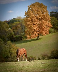 Autumn Grazing (Thomas James Caldwell) Tags: hidden valley farm ridley creek state park pennsylvania autumn fall nature color foliage horse grazing grass hills