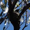 Myiagra rubecula (Diana Padrón) Tags: leaden flycatcher myiagra rubecula victoria aves bird birds australia gobur flora reserve outdoors nature naturaleza