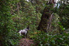 Blanca on Humbug Mountain (Claudia Künkel) Tags: oregon blanca dog trail bordercolliemix humbugmountain coast forest woods