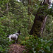 Blanca on Humbug Mountain (Claudia Künkel) Tags: oregon blanca dog trail bordercolliemix humbugmountain coast forest woods