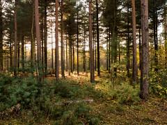 Autumn light (RIch-ART In PIXELS) Tags: teverenerheide deutschland forest pineforest sunlight pines nature landscape leicadlux6 leica dlux6 germany