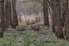 4D3A7801 (marcwalter1501) Tags: damadama daim forêts animaux selestat illwald 5dmk4 canon cervidé
