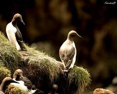 The Seabirds are Arriving (Natureshots.JP) Tags: seabirds guillemot spring dublin nikond750 nikon300mmf28vr2
