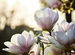 Danse autour du magnolia 2/22 (Emmanuel Cattier -) Tags: magnolia fleur plante tree fleursetplantes flower flowering arbre arbreenfleur france strasbourg alsace grandest floraison lumière printemps cattier emmanuelcattier manusoft