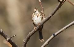 7K8A6783 (rpealit) Tags: scenery wildlife nature east hatchery alumni field hackettstown song sparrow bird