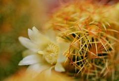 flower 350 (kaifudo) Tags: sapporo hokkaido japan botanicalgarden flower hokkaidouniversity cactus サボテン 札幌 北海道 北大植物園 nikon d7100 sigmaapomacro150mmf28 150mm macro kaifudo