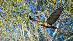 Savage Garden (vgphotoz) Tags: vgphotoz marculescueugendreamsoflightportal nature bird arizona savagegarden trees lookthatkills wings flight