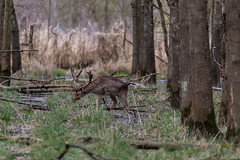 4D3A7800 (marcwalter1501) Tags: damadama daim forêts animaux selestat illwald 5dmk4 canon cervidé
