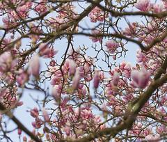 Danse autour du magnolia 7/22 (Emmanuel Cattier -) Tags: magnolia fleur plante tree fleursetplantes flower flowering arbre arbreenfleur france strasbourg alsace grandest floraison lumière printemps cattier emmanuelcattier manusoft