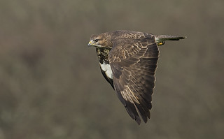 Buzzard flyby & with a Quiff!