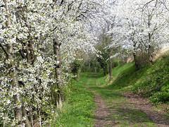 Cerisiers (Raymonde Contensous) Tags: arbres chemins paysage cerisiers auvergne nature puydedôme chadeleuf campagne cerisiersenfleurs
