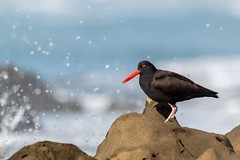 Splash! (Ryan Jeske) Tags: california water ocean blackoystercatcher sigma morrostrandstatebeach bird sigma150600contemporary canon70d splash canon seabird supertelephoto morrobay