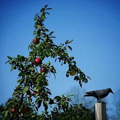 apples and crow (Jude Marion) Tags: ontario canada portelgin apples appleorchard crow smithsapplesandfarmmarket orchard