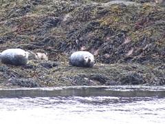 8551 Grey seals on Sgeirean Shallachain - Shallachain reef (Andy - Busyyyyyyyyy) Tags: 20170318 day9 ggg greyseal islet lll lochlinnhe mammal mmm reefs rrr scotland sealoch seals sgeireanshallachain shallachainreefs sss water www