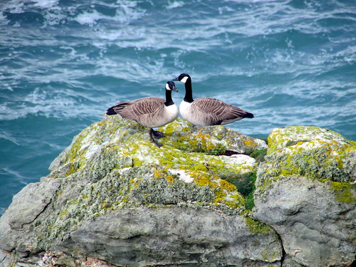Canada Geese at Porth Saint