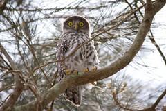 Barking Owl (juvenile) (petefeats) Tags: australia barkingowl birds goldcoast nature ninoxconnivens queensland strigiformes schusterpark strigidae juvenile