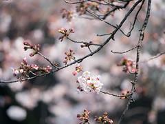 Way Early (H.H. Mahal Alysheba) Tags: tokyo flower cherry cherryblossom bokeh dof japan spring lumix gx7 olympus mzuiko 40150mmf28