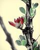 "Ocotillo (C A Hyman) Tags: ocotillo""fouquieriasplendens"" coachwhip candlewood slimwood desertcoral"" jacob'sstaff jacobcactus vinecactus notacactus sonorandesert southwesternus northernmexico cahyman hytecimags"