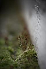 MUSGO Y LIQUEN (ERREACHE) Tags: briofitas capsulasdeesporas esporangios macro musgo liquen lichen moss goroldioa