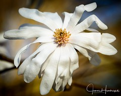 Magnolia Flower (jhambright52) Tags: macroflowers whitemagnoliaflower springblossoms doublefantasy
