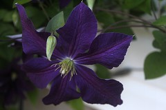 Bloom of Jackmanii Clematis  002 (Chrisser) Tags: flowers summer ontario canada nature garden vines gardening clematis fourseasons closeups ranunculaceae canonefs1855mmf3556islens canoneosrebelt1i