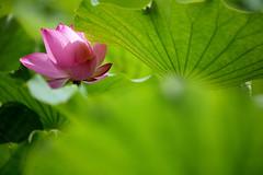 Lotus (**Hu) Tags: pink sun flower macro lotus taiwan pinkflower    180mm  fleurdelotus