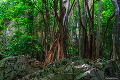 tree (chok_moso) Tags: wood wild plant tree green nature forest bush woods wildlife vine arbor jungle trunk verdant climber vernal stalk liana arbour bole creepingplant haulm verdurous